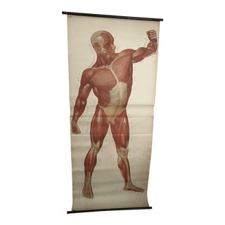 Human Muscle Chart For Sale