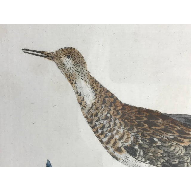 Late 18th Century Late 18th Century Calidris Gambetta Bird Print by Saverio Manetti For Sale - Image 5 of 6