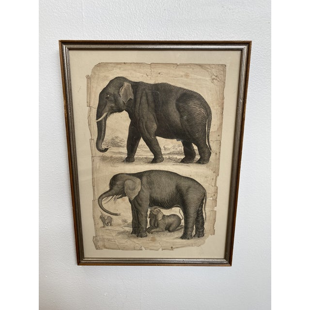 Wonderful scientific study of elephants print from the 1890s. Great design addition to home or office.