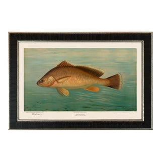 American Fish 39 the Fresh Water Drum by Harris CFA Edition Giclee Print For Sale