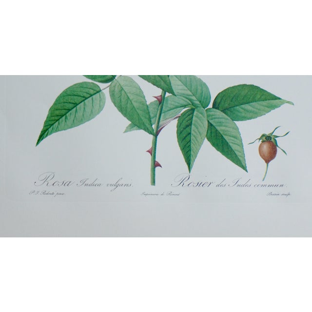 Traditional Reproduction Pink Rose Botanical Print For Sale - Image 3 of 5