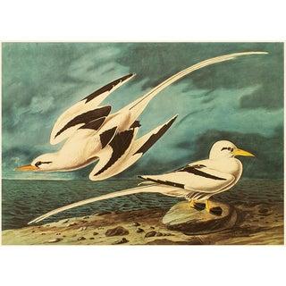 White-Tailed Tropicbirds by John J. Audubon, XL Vintage Cottage Print For Sale