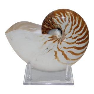 Specimen Nautilus Shell With Amber Striping on Lucite Stand For Sale