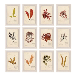 Capistrano Seaweed, Small, Framed Artwork - Set Of 12 For Sale