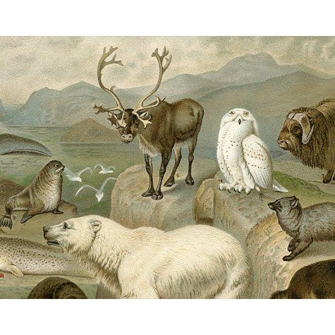 original lithograph of Arctic Animals published in Germany in the 1890s.Among the animals shown on the print are the Owl,...