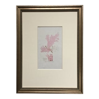 British Pink Seaweed Illustration by William H Harvey For Sale